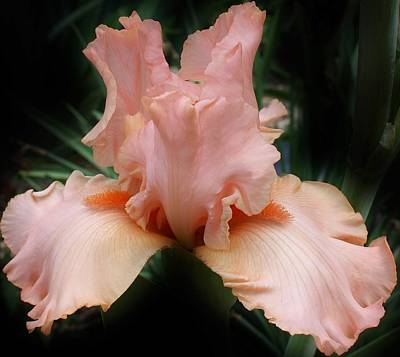Photograph - Pink Sensation by Bruce Bley