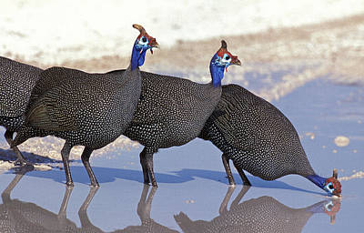 Guineafowl Photograph - Pintade De Numidie Numida Meleagris by Gerard Lacz