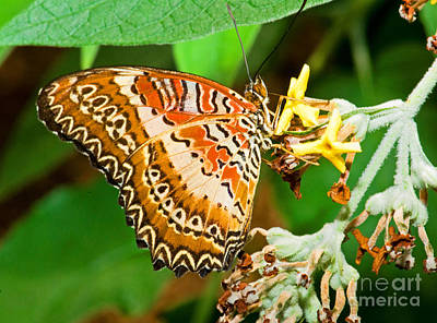 Plain Tiger Butterfly Art Print