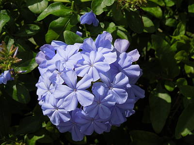 Galleries On Line Photograph - Plumbago by Ron Davidson