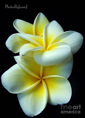 Photograph - 3 Plumerias by Jamie Johnson
