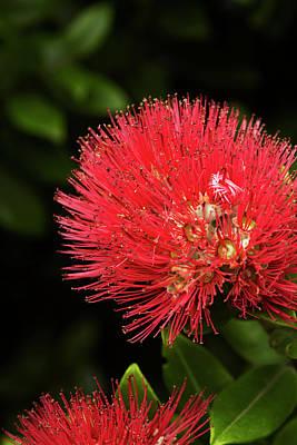 Dunedin Photograph - Pohutukawa Flower, Dunedin, South by David Wall