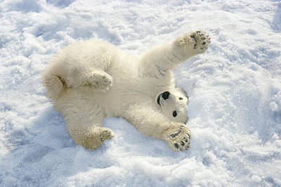 Winter Fun Photograph - Polar Bear Cub Playing In Snow Alaska by Mark Newman