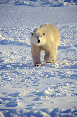 Photograph - Polar Bear On Sea Ice by Randy Green
