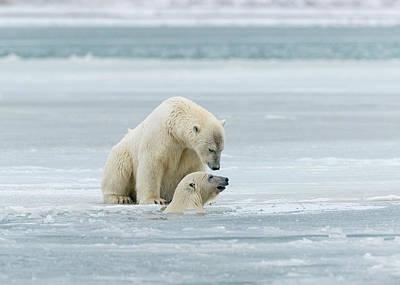 Polar Bears Near Kaktovic, Alaska Art Print