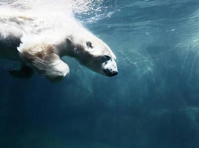 Photograph - Polarbear In Water by Henrik Sorensen