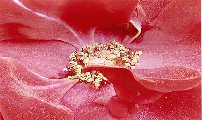 Photograph - Pollen Covered Altissimo Rose by June Holwell