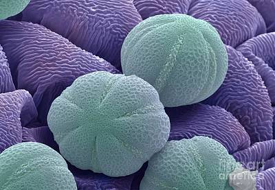 Photograph - Pollen Grains by Andrew Syred