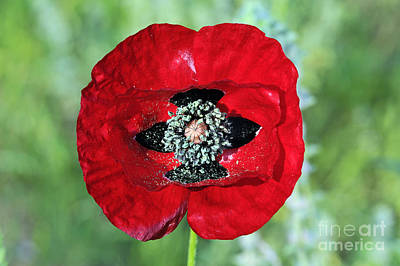 Print featuring the photograph Poppy Flower by George Atsametakis
