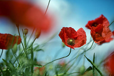 Luminous Photograph - Poppy Meadow by Nailia Schwarz