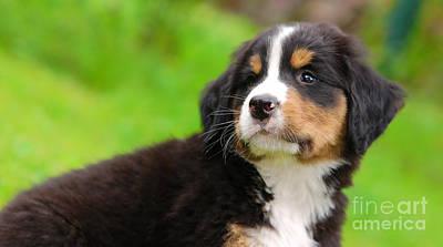 Portrait Photograph - Portrait Of Bernese Mountain Dog by Michal Bednarek