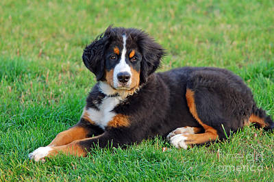 Doggy Photograph - Portrait Of Puppy Bernese Mountain Dog  by Michal Bednarek