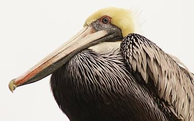 Pretty Pelican Art Print by Paulette Thomas