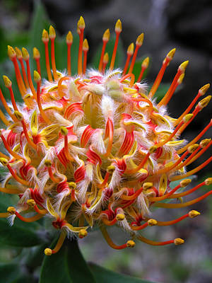 Photograph - Protea by Robert Lozen