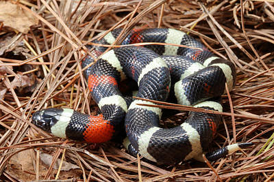 Photograph - Pueblan Milk Snake L. Triangulum by David Kenny
