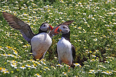 Traci Law Photograph - Puffins by Traci Law