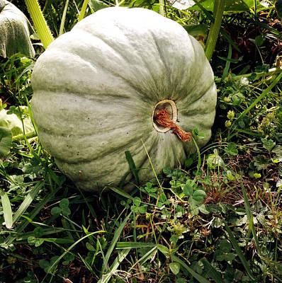 Uncut Photograph - Pumpkin by Les Cunliffe