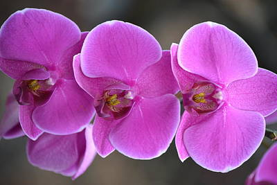 Vintage Pharmacy - 3 Purple Orchids by Kim Stafford
