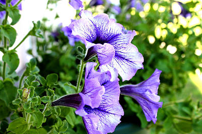 Photograph - 3 Purple Petunias by Barbara Giordano