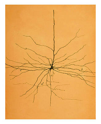 Pyramidal Cell In Cerebral Cortex, Cajal Art Print