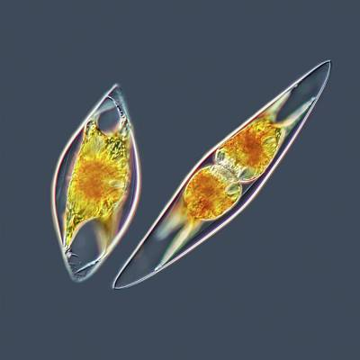 Unicellular Photograph - Pyrocystis Lunula Dinoflagellate by Gerd Guenther