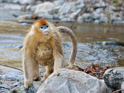 Bonding Photograph - Qinling Mountains, China, Female Golden by Alice Garland