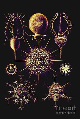 Radiolarians After Ernst Haeckel Art Print