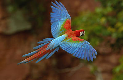 Mato Photograph - Red And Green Macaw Flying  Brazil by Pete Oxford