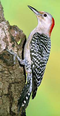 Woodpecker Photograph - Red Bellied Woodpecker by Millard H. Sharp