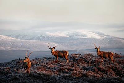 Photograph - Red Deer Stags by  Gavin Macrae
