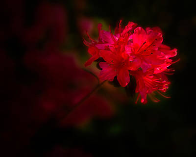 Photograph - Red Delight by Denis Lemay