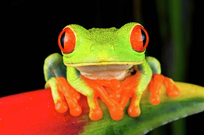 Frog Photograph - Red-eyed Treefrog (agalychnis Callidryas by Andres Morya Hinojosa
