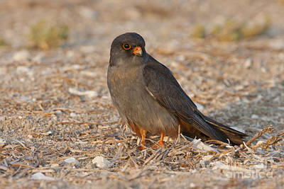 Birds Of Israel Photograph - Red Footed Falcon Falco Vespertinus by Eyal Bartov