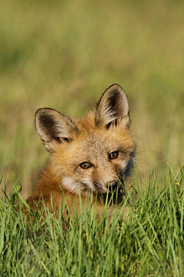 Red Fox Kit Art Print by Ken Archer