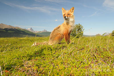 Red Fox Pup Art Print by William H. Mullins