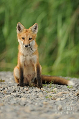 Quebec Fauna Photograph - Red Fox by Scott Linstead
