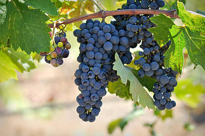 Vino Photograph - Red Grapes On The Vine by Brandon Bourdages