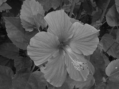Photograph - Red Hibiscus by Ron Davidson