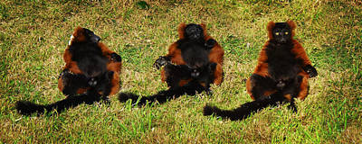 Photograph - 3 Red Ruffed Lemur Boys by Xueling Zou