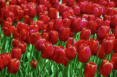 Art Print featuring the photograph Red Tulips  by Allen Beatty