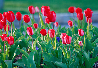 Photograph - Red Tulips by Ann Murphy