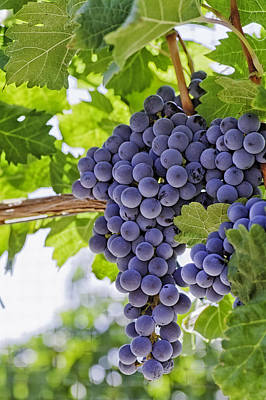 Red Wine Grapes Art Print by Teri Virbickis