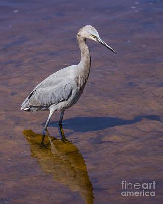 Reddish Egret Art Print by Twenty Two North Photography