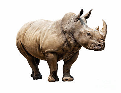 Photograph - Rhino On White Background by Gualtiero Boffi