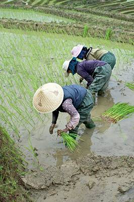 Rice Cultivation In Yunnan Province Art Print