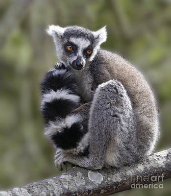Photograph - Ring-tailed Lemur by Liz Leyden