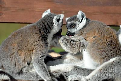 Lemurs Photograph - Ring Tailed Lemurs by George Atsametakis
