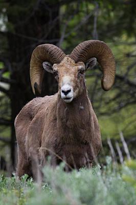 Rocky Mountain Bighorn Sheep Ram Art Print