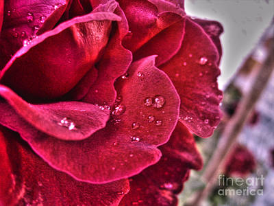 Photograph - Red Rose And Summer Rain by Nina Ficur Feenan