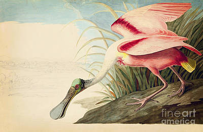 Spoonbill Drawing - Roseate Spoonbill  by Celestial Images